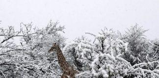 В Африке неожиданно выпал снег - today.ua