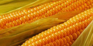 Американская фирма хочет построить в Винницкой области завод по переработке кукурузы - today.ua