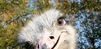 На Коломыйщине фермер решил избавиться от страусиного бизнеса - today.ua