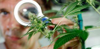 Уряд Грузії у найближчі роки отримуватиме 1 мільярд ларі від експорту марихуани - today.ua