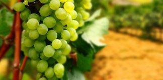 """Виноград корисний не всім: що відбувається з організмом після вживання фрукта """" - today.ua"""