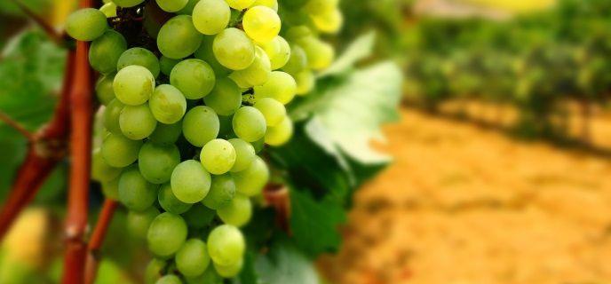 Виноград полезен не всем: что происходит с организмом после употребления фрукта  - today.ua