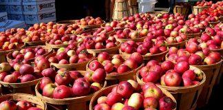 Небывалый урожай яблок в Украине: почему садоводы отказываются собирать плоды - today.ua