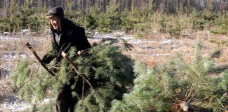 За незаконную вырубку елок украинцам грозит крупный штраф - today.ua