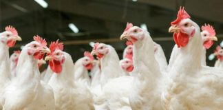 Китай зняв 13-річну заборону на імпорт української птиці - today.ua