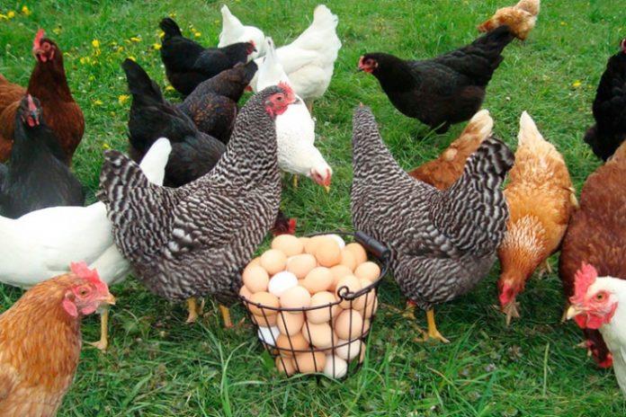 Україна увірвалася в десятку світових експортерів курятини - today.ua