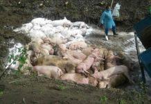 В Україні зафіксований спалах африканської чуми свиней - today.ua