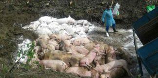 В Украине зафиксирована вспышка африканской чумы свиней - today.ua