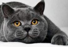 ТОП-3 породи кішок для сімей з дітьми - today.ua