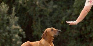 Топ-10 найбільш слухняних собак, які замінять вам справжнього друга - today.ua
