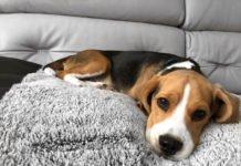 Найкращі породи собак для життя в квартирі - today.ua