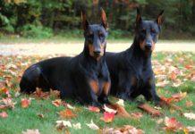 ТОП-3 лучших пород собак для охраны - today.ua