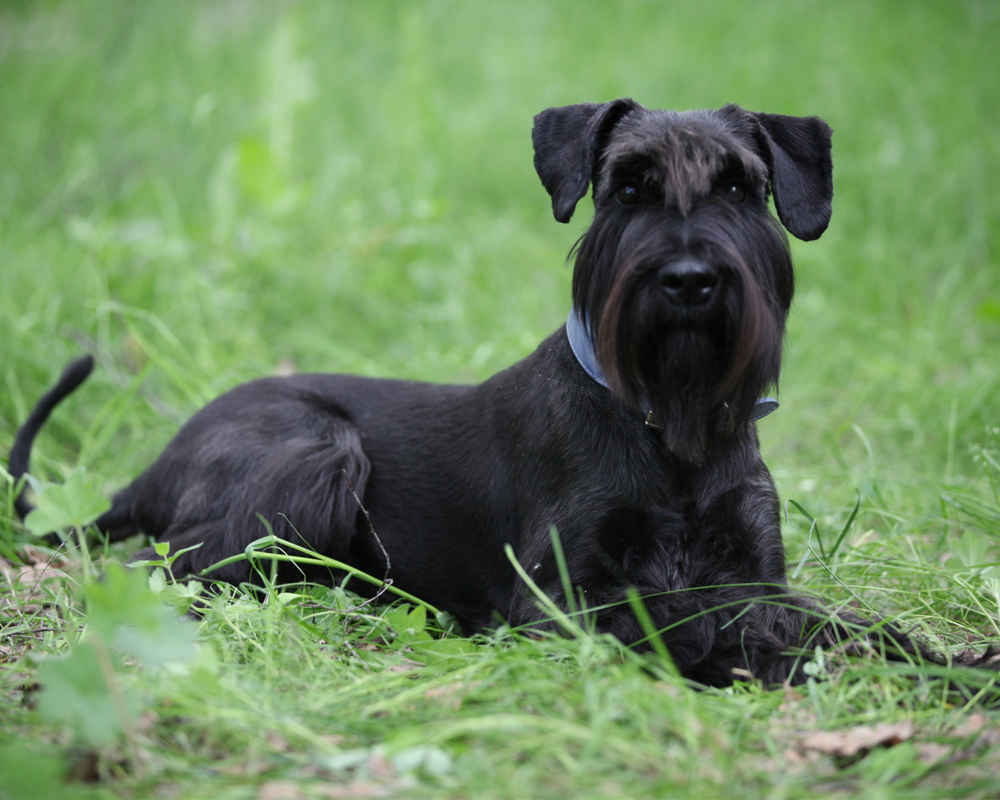 ТОП-5 самых агрессивных пород собак