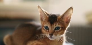 ТОП-3 самых преданных пород кошек - today.ua