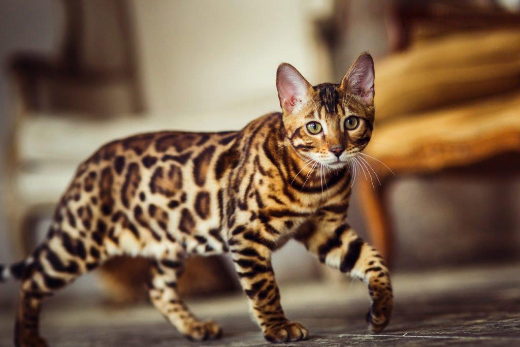 ТОП-5 самых дорогих пород кошек