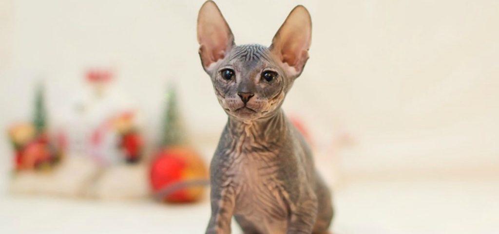 ТОП-3 самых проблемных пород котов