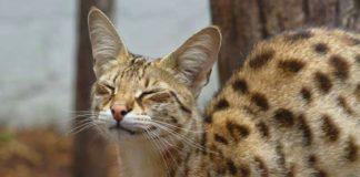 ТОП-5 самых дорогих пород кошек - today.ua