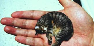 Найменший кіт у світі став зіркою YouTube - today.ua