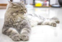 ТОП-5 пород кошек, которые появились за последние годы - today.ua