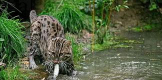 """Любить пірнати і ловити рибу: Найбільш рідкісний кіт у світі зачаровує"""" - today.ua"""