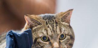 """Відправили худнути: пухкого кота не пустили в літак через зайву вагу """" - today.ua"""
