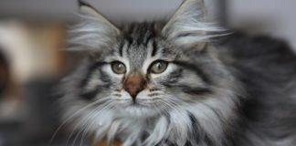 ТОП-5 самых уникальных пород котов в мире - today.ua