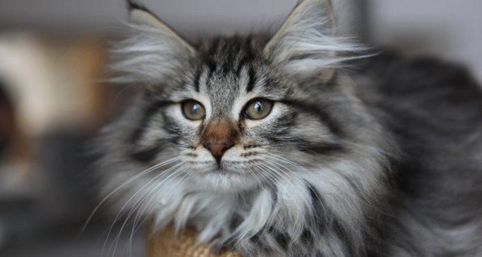 ТОП-5 найбільш унікальних порід котів у світі - today.ua