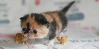 ТОП-3 найменших порід котів - today.ua