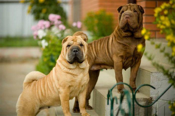 ТОП-5 найкращих порід бійцівських собак - today.ua
