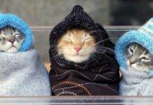 ТОП-3 найкумедніших порід котів - today.ua