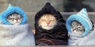ТОП-3 самых забавных пород кошек - today.ua