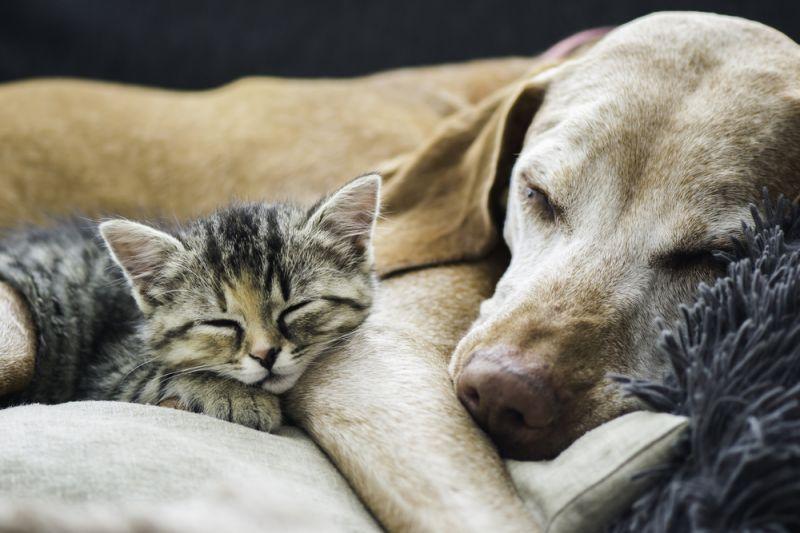 ТОП-5 порід кішок, які дружать з собаками  - today.ua