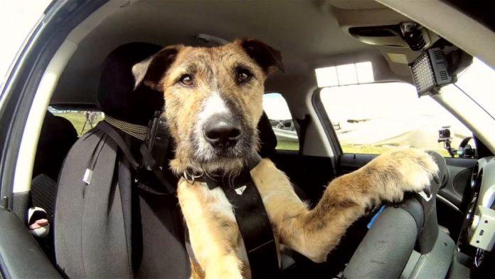 ТОП-3 порід собак з найвищим рівнем інтелекту - today.ua
