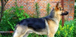 """ТОП-3 найпопулярніших порід собак в Україні"""" - today.ua"""