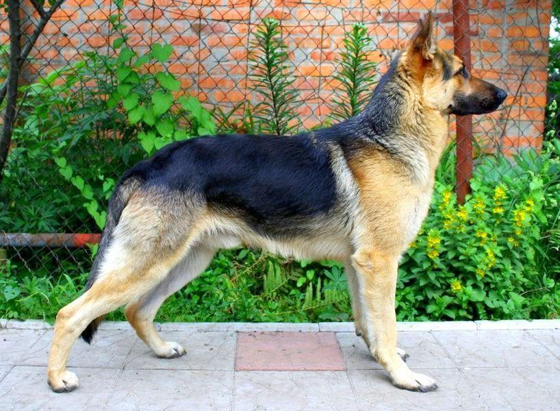 ТОП-3 самых популярных пород собак в Украине - today.ua