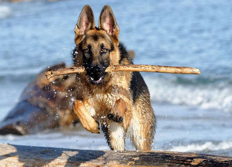 ТОП-3 найпопулярніших порід собак в Україні