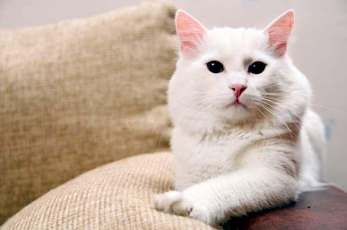 ТОП-5 самых красивых длинношерстных пород котов: настоящие аристократы