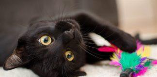 Яка порода кішок приверне в оселю кохання та гроші - today.ua