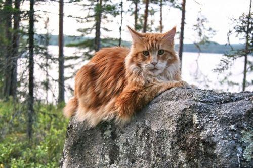 ТОП-3 самых верных пород кошек