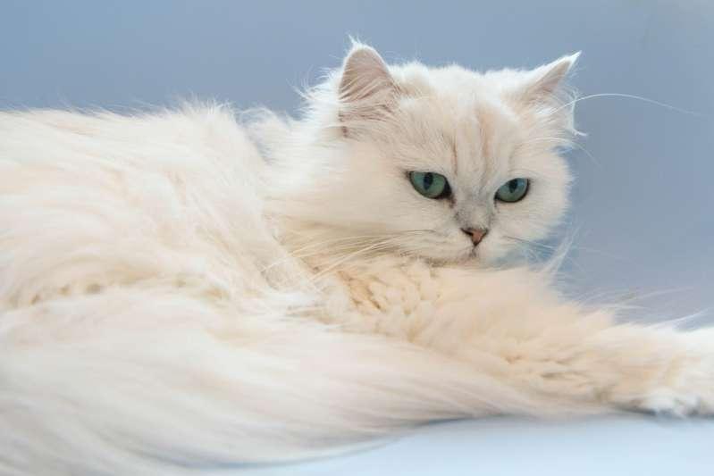 ТОП-3 самых болезненных пород котов