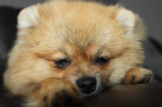 ТОП-3 мініатюрних порід собак для квартири