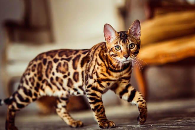 ТОП-5 порід котів з найміцнішим здоров'ям