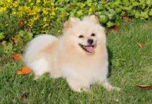 ТОП-3 миниатюрных пород собак для квартиры - today.ua