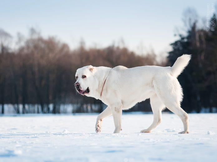 ТОП-5 найбільших собак у світі - today.ua