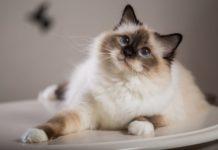 Топ-5 самых нежных пород кошек - today.ua