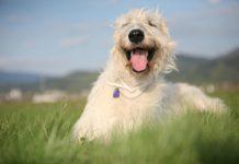 ТОП-3 найдорожчих порід собак - today.ua