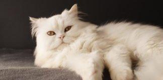 ТОП-5 найкрасивіших довгошерстих порід котів - today.ua