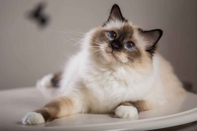 ТОП-5 порід кішок, які дружать з собаками