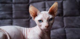 ТОП-3 порід котів, які не линяють - today.ua
