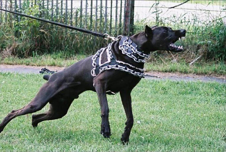 ТОП-5 найзліших порід собак